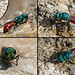 Ruby-tailed wasp by Steve Balcombe