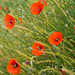 Poppies - Kimbolton Village