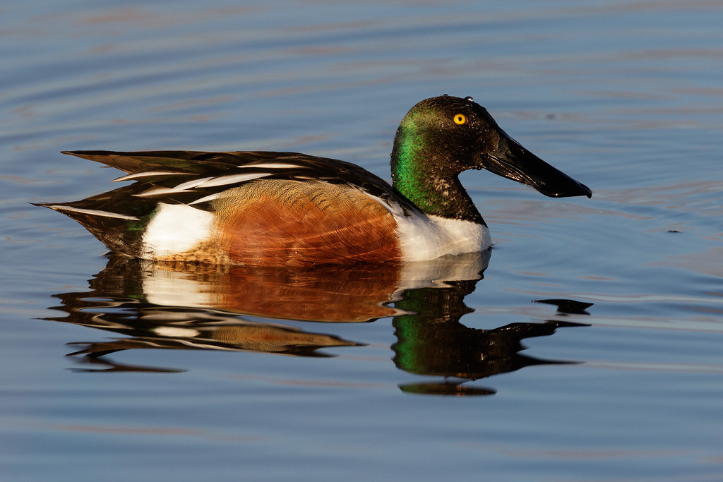 A male northern shoveler in the water