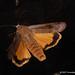 DSC05164 - Huismoeder ( Noctua pronuba ) - Yellow Underwing by Arnoldus1942