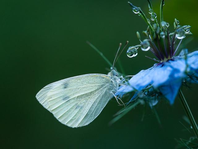 koolwitje - Cabbage butterfly, Nikon D700, Sigma APO Macro 150mm F2.8 EX DG HSM
