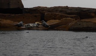 Seals by the bird islands, Big Bras d'Ors, NS