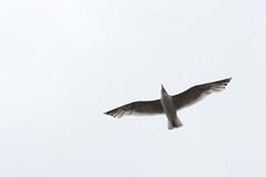 Sea gull flying by