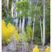 Autumn Aspen Grove by G Dan Mitchell