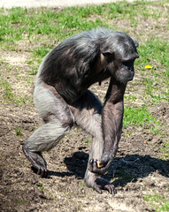Chimpanzee Sallys Group #2
