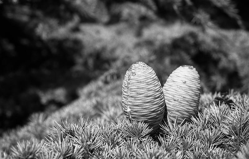 FILM - Pine cones