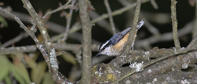 Red Breast Nuthatch