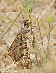 Giant Antlion (Palpares libelluloides) male