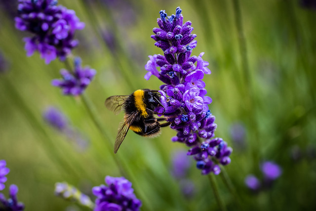 Bee on Lavender L-0898, Canon EOS 80D, Canon EF 70-200mm f/4L IS
