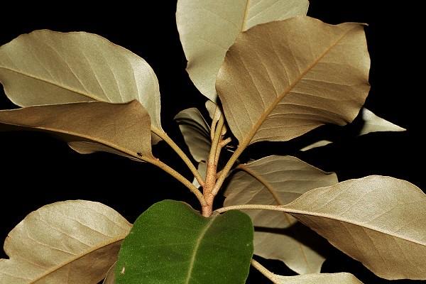 Croton insularis, Canon EOS 700D, Tamron 90mm f/2.8
