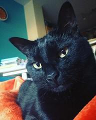 Yes? Is there something you want? To move perhaps? Request denied. #blackcat #blackcats #cat #cats #kitty #kittycat #kittygram #blackcatsofinstagram #exferal #queencat #catsofinstagram #catsagram #ネコ #ねこ #猫 #neko #kuroneko #黒猫 #クロネコ #くろねこ