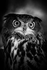 Eurasian eagle-owl (Black & White)