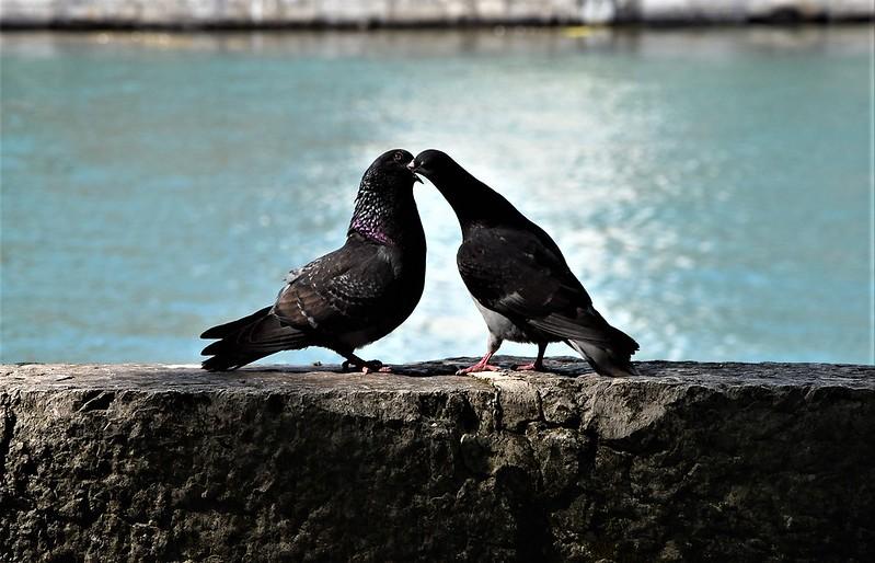 Pigeons 14.07 (7)