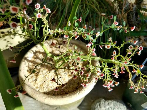 20170609_EuphorbiaGuiengola