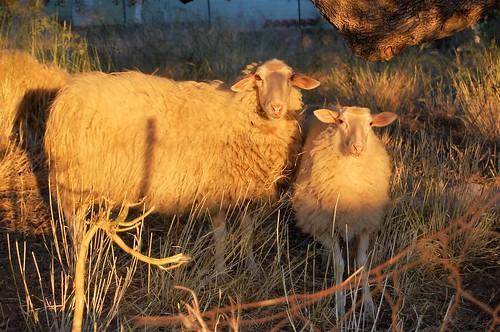 greece kefalonia vlachata sheep evening golden wool olive sunset dusk fleece kefallinia kephallinia λουρδατα κεφαλονιά nikond40 eveningsunshine eveningsun