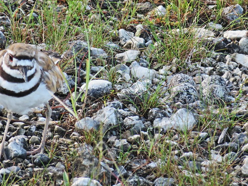 Killdeer at nest PowerShot 01-20170617