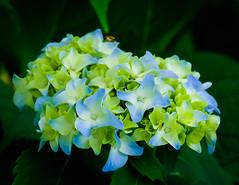 Hydrangea blue green