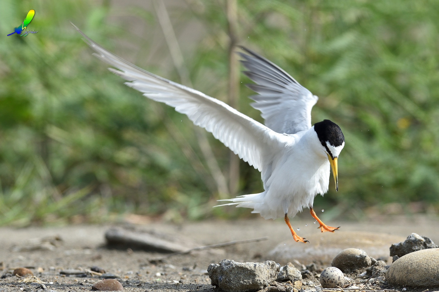 Little_Tern_6739