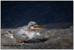 Arctic Tern 062517-6497-W.jpg