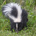 Stripped Skunk (Mephitis mephitis) by Don Delaney