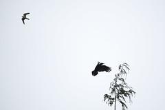 Merlin vs Crow 178/365