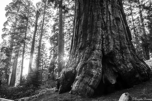 california blackwhite blackandwhite monochrome usa inspired anseladamsinspired america pentax tree sequoia giantsequoia kingscanyon kingscanyonnationalpark sunset grantgrove