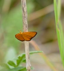 Orange Wave (Idaea flaveolaria)
