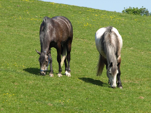 To Horses Grazing 028