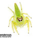 Giant Green Jumping Spider (Mopsus mormon) by caitlinhenderson