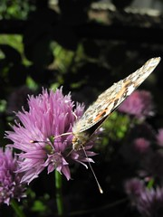 Flutterby on my chives.