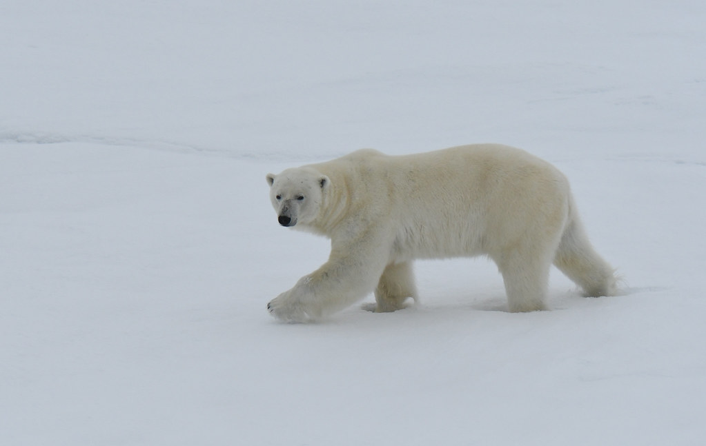 A majestic polar bear walking on sea ice