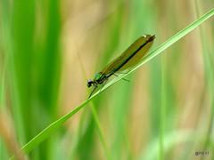 Banded-Demoiselle. Female.-