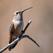 Small photo of Allen's/Rufous Hummingbird (f)