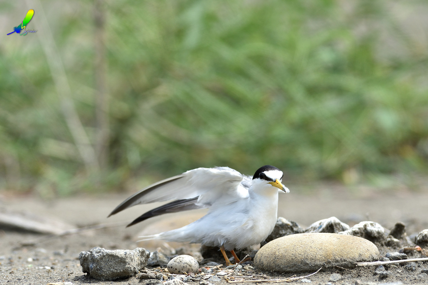 Little_Tern_6214