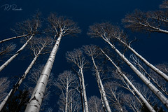 Aspen Trees III