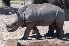 Little Rhino in Profile