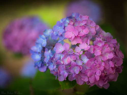 Hydrangea with two colors