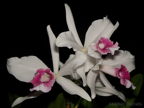 Laelia purpurata carnea | by TwilightShadow