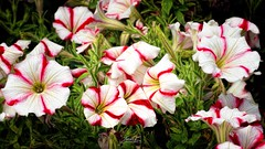 peppermint pansy's