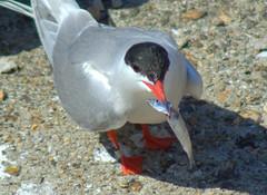 Tern at Preston Docks