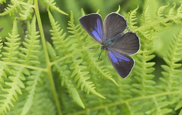 Purple Hairstreak (Favonius Quercus), Nikon D810, Sigma Macro 105mm F2.8 EX DG OS HSM