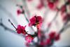 Dreamy blossoms