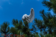 Great Egret 2017-06-25