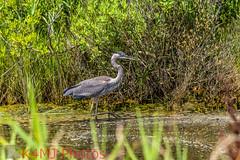 Great Blue Heron 2017-06-25