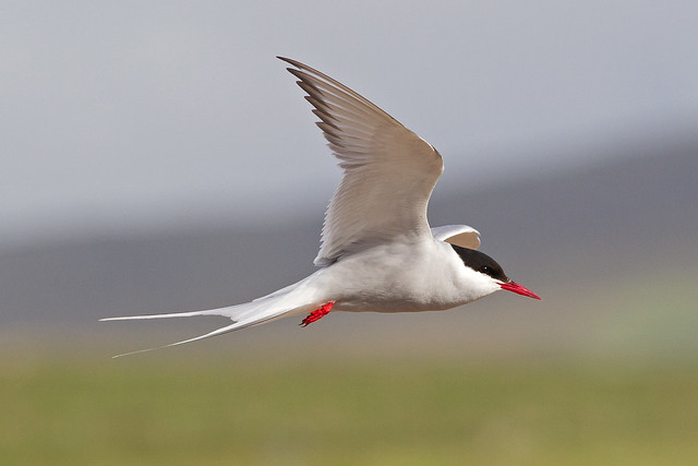 Arctic Tern, Canon EOS-1D MARK IV, Canon EF 300mm f/2.8L IS