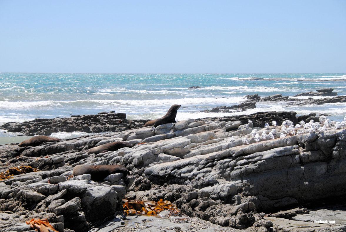Hylkeitä rannalla, Kaikoura, Uusi-Seelanti