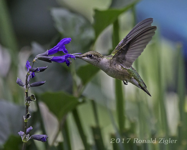 Juvenile Ruby-throated Hummingbird with, Canon EOS 60D, Sigma 150-600mm f/5-6.3 DG OS HSM   C