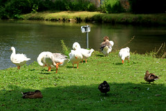 Oies et Canards