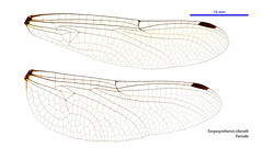 Tonyosynthemis ofarrelli female wings