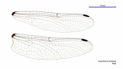 Eusynthemis rentziana male wings